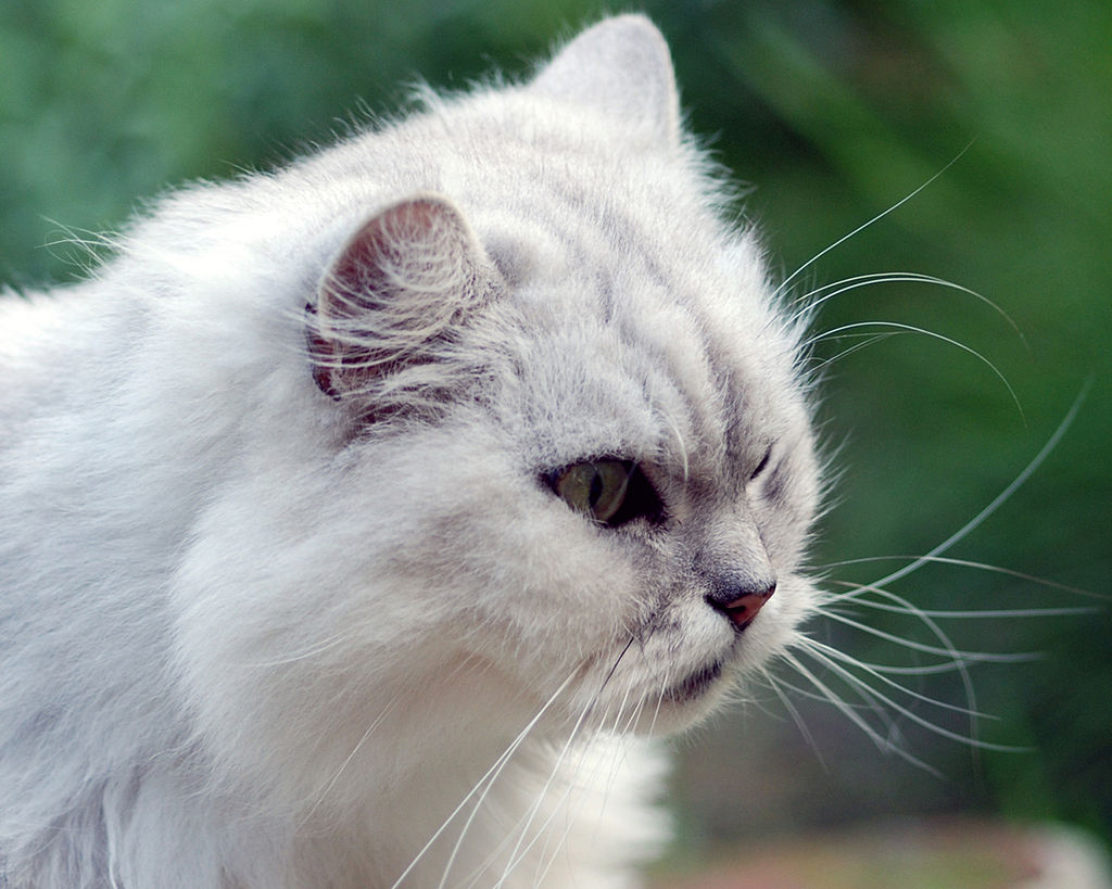 Chinchilla cat white