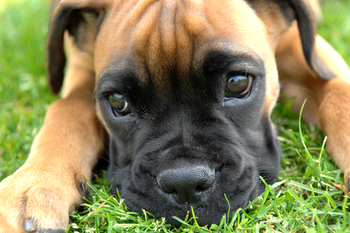 How long do some dog breeds live - Boxer life expectancy
