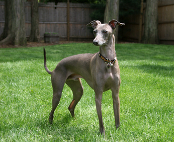 How long do some dog breeds live - Greyhound Dog life expectancy