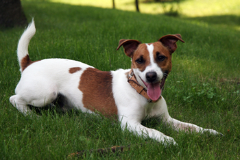 How long do some dog breeds live - Jack Russell Terrier life expectancy