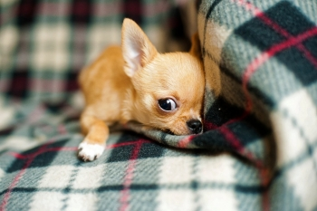 How long do some dog breeds live - chihuahua puppy life expectancy
