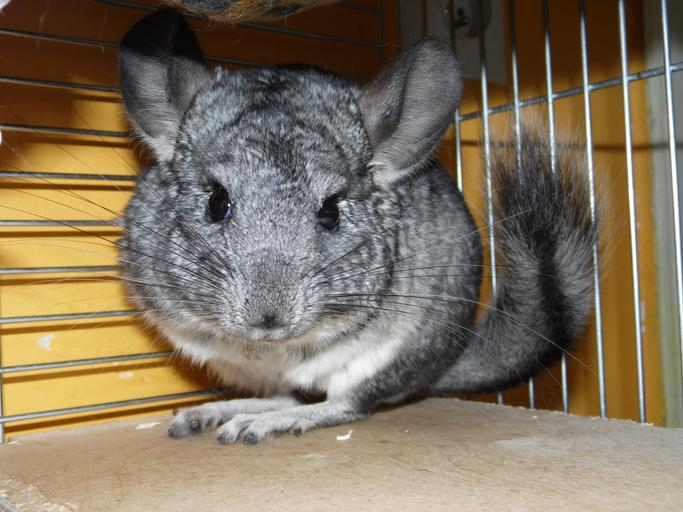 Chinchillas as pets - Part 2