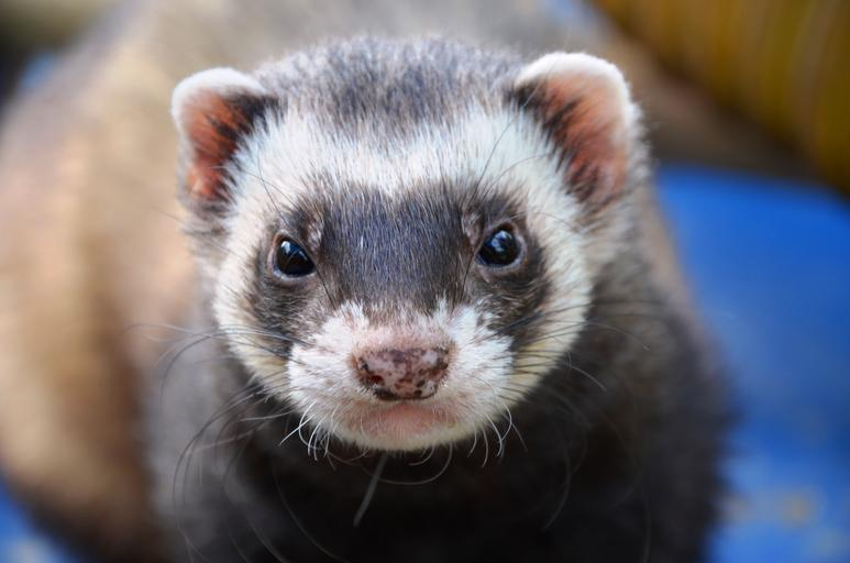 Ferret care - the latest findings