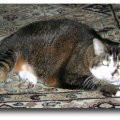 Aging cats' nutritional needs change after age eleven